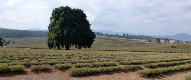 The Lavender Farm - acres and acres of Lavender