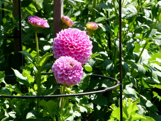 Lovely Pom Pom Dahlia at City Park in Launceston