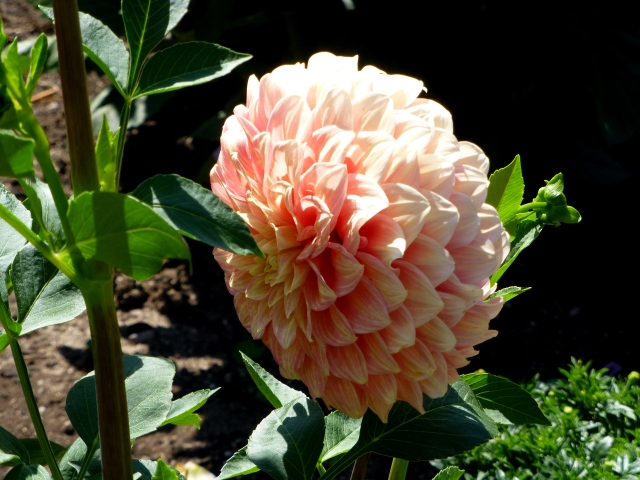 Lovely Dahlia at City Park in Launceston